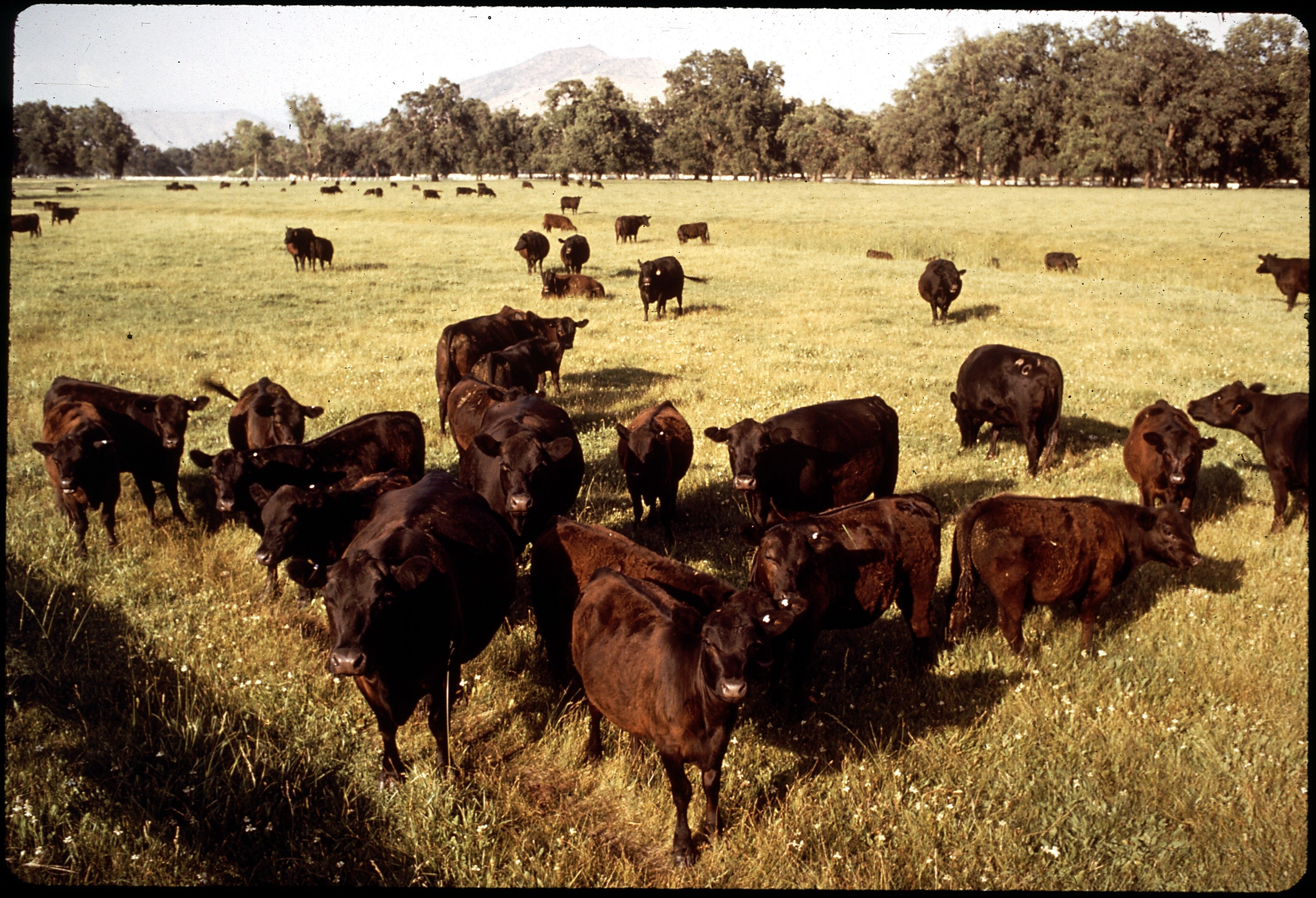 BLACK_ANGUS_CATTLE_AT_RANCH_-_NARA_-_542626