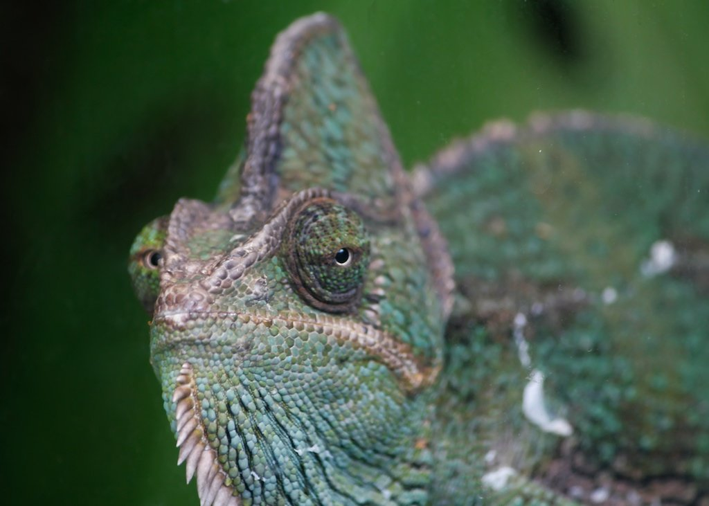 Green chameleon eye